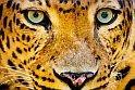 Puzzle játék, amiben egy leopárd lesz a főszereplő. Online játék több nehézségi fokozaton.