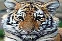 Puzzle játék gyönyörű tigrisekkel? Ráadásul többféle nehézségi fokozatú az online játék? Igen, ilyen egy belevaló állatos játék.    Minél több darabbal játszol, annál bonyolultabb lesz a logikai játék, de így lesz az igazi.
